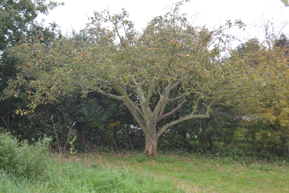 Apple tree at St Laurence Orchard